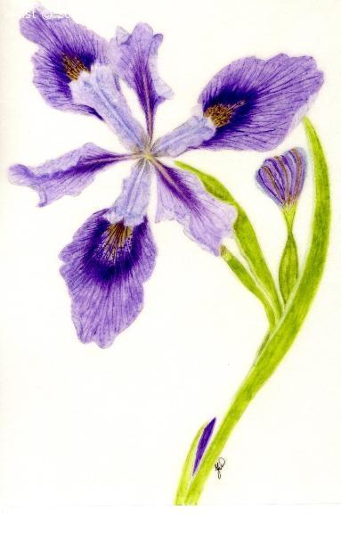 Iris armigiata